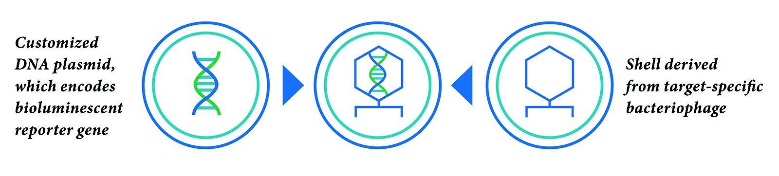 customized-dna-plasmid