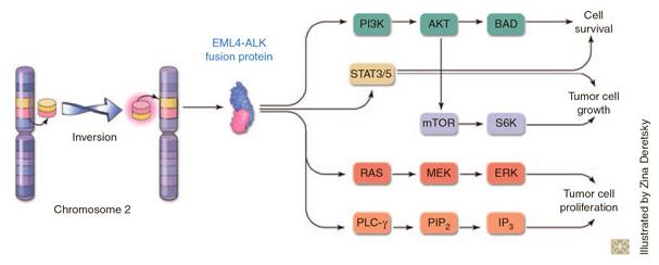 ALK protein