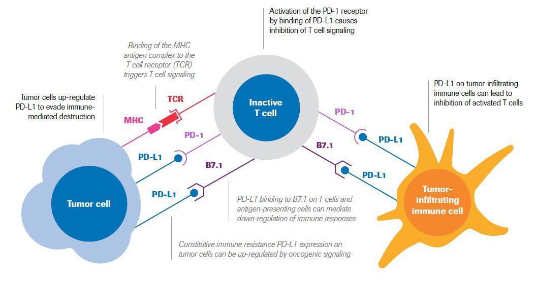 Pd-L1 Basics