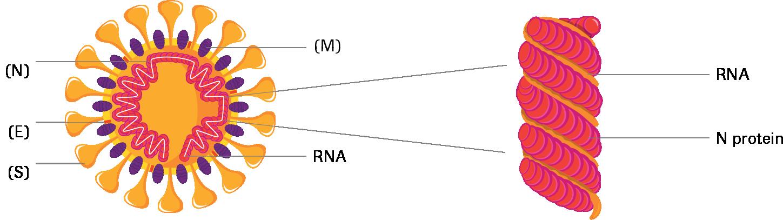 コロナウイルスの図