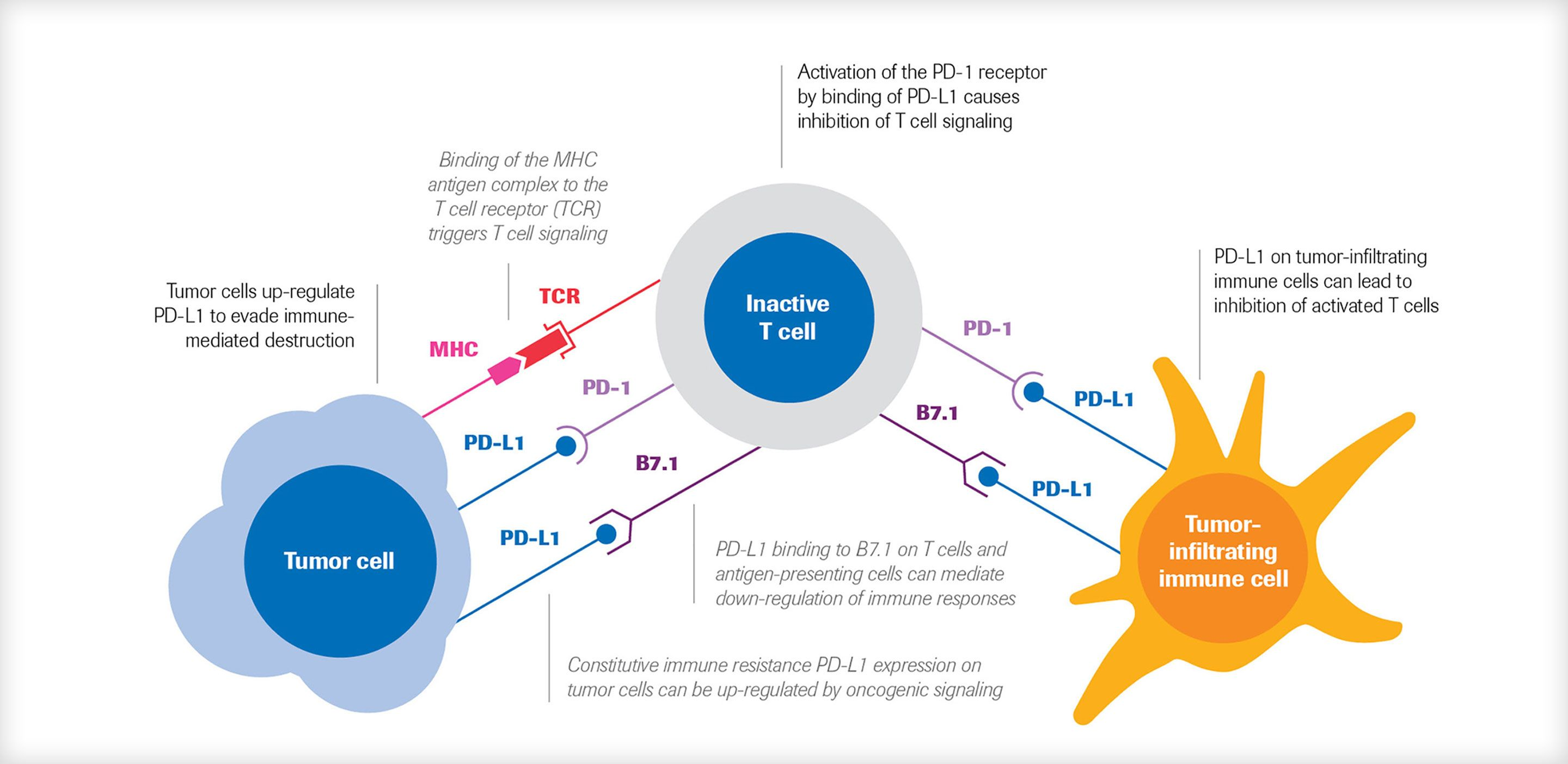 Roche PD-L1 immunological checkpoint image